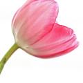 Tulip Acropolis by John Edwards