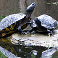 Turtles Sunning And Holding Hands by Richard Singleton