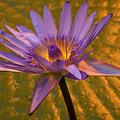 Waterlily by Jouko Lehto