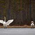 Whooper Swans 2 by Jouko Lehto