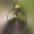 Wood Warbler by Jouko Lehto