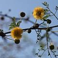 Yellow Minosa by Jouko Lehto