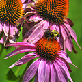 01 Bee And Echinacea by Michael Frank Jr