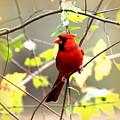 0138 - Cardinal by Travis Truelove