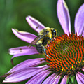 02 Bee And Echinacea by Michael Frank Jr