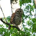 0298-001 - Barred Owl by Travis Truelove