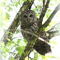 0304-002 - Barred Owl by Travis Truelove
