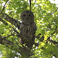 0313-010 - Barred Owl by Travis Truelove