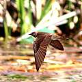 0518 - Northern Rough-winged Swallow by Travis Truelove