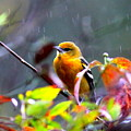 0651 - Baltimore Oriole by Travis Truelove