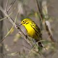 0839 -yellow Warbler by Travis Truelove
