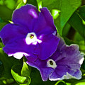 Purple Flowers In Pilgrim Place In Claremont-california by Ruth Hager