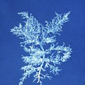19th-century Alga Cyanotype by Spencer Collectionnew York Public Library