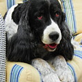#940 D1031 Farmer Browns Springer Spaniel by Robin Lee Mccarthy Photography