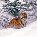 A Blur Of Tiger by Michele Burgess