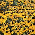 A Carpet Of Black Eyed Susans by Kim Bemis