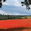 A Field Of Red Poppies by Bob Kemp