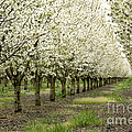 A Flowering Cherry Orchard by Inga Spence