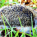 A Hedgehog Searching For Food by Augusta Stylianou