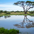 Acacia Tree Reflection by Gregory Daley  MPSA