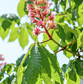 Aesculus X Carnea, Or Red Horse-chestnut Flower by Alain De Maximy