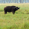 African Buffalo by Aidan Moran