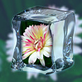 African Daisy Cube by Jeannie Rhode