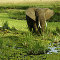 African Elephant In Swamp by Michele Burgess