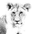 African Lion by Aidan Moran