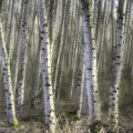 Afternoon Birch Trees by Kevin Felts