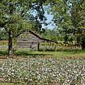 Alabama Cotton Field by Mountain Dreams
