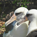 Albatross Lovers by Megan Martens