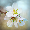 Almond Blossoms by Joan Baker