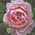 Alnwick Rose 1830 by Teresa Wilson