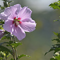 Althea Rose Of Sharon Hibiscus Bloom by Barb Dalton