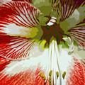 Amaryllidaceae Hippeastrum Stargazeramarylllis by Allan  Hughes