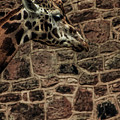 Amazing Optical Illusion - Can You Find The Giraffe by Doc Braham