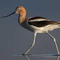 American Avocet by Don Baccus