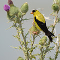 American Goldfinch by Charles Owens
