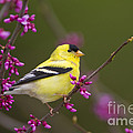 American Goldfinch In Redbud by Marie Read