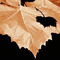 American Sycamore Leaf And Leaf Shadow by A Gurmankin
