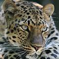 Amur Leopard #2 by Judy Whitton