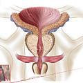 Anatomy Of Prostate Gland by Stocktrek Images