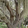 Angel Oak With Spanish Moss 2 by To-Tam Gerwe