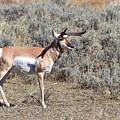 Antelope by Michael Chatt