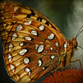 Aphrodite Fritillary 1 by Ingrid Smith-Johnsen