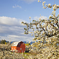 Apple Blossom Trees And A Red Barn In by Craig Tuttle