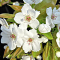 Apple Blossoms 0936 by Michael Peychich