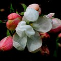 Apple Blossoms by Karen Molenaar Terrell