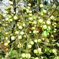 Apple Tree by Jeelan Clark
